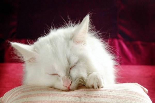 Gato dormido sobre un cojín