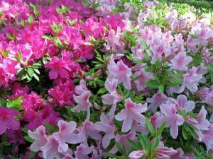 Azaleas en tonos rosas
