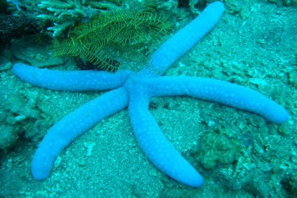 Estrella de mar azul