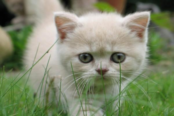 Pequeño gato paseando por la hierba