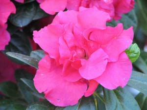 Postal: Flor de azalea vista de cerca