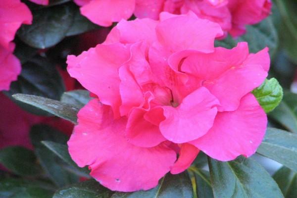 Flor de azalea vista de cerca