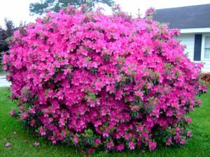 Una gran planta de azaleas en el jardín