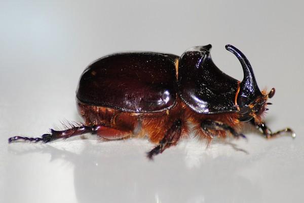 Escarabajo rinoceronte de cerca