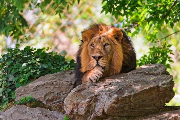 León tumbado entre rocas
