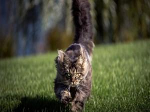 Postal: Gato corriendo por la hierba