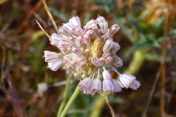 Inflorescencia de Allium paniculatum