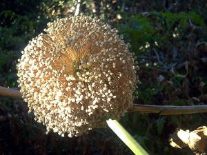 Postal: Inflorescencia de Allium cepa