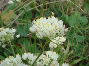 Postal: Allium subvillosum