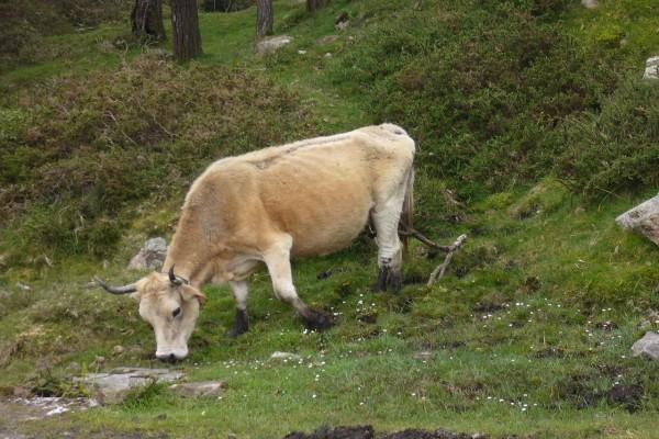 Vaca asturiana en la montaña