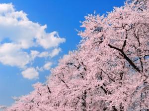 Cerezos en flor bajo las nubes