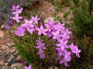Postal: Centaurium quadrifolium