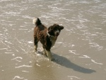 """Un """"perro de agua español"""" caminando por la playa"""