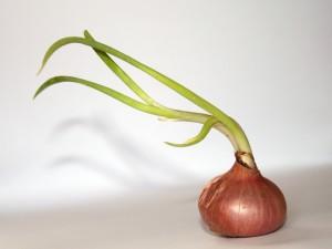 Postal: Cebolla con verdes tallos