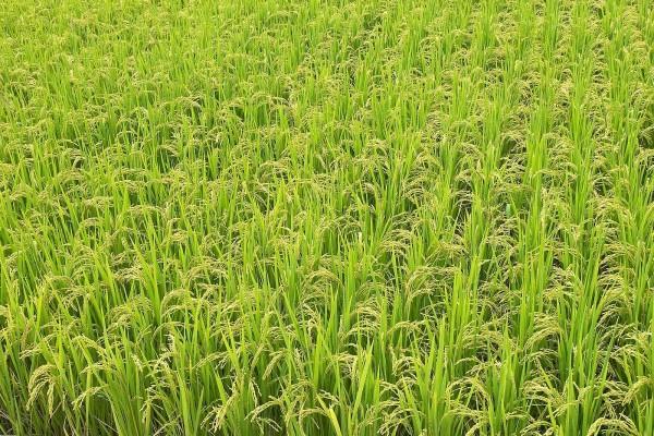 Verde arrozal