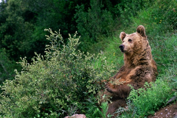 Oso pardo sentado en unos matorrales