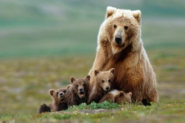 Mamá oso con sus oseznos
