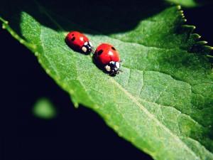 Postal: Dos mariquitas en una hoja verde