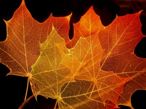 Postal: Esqueletos de hojas