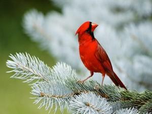Postal: Precioso pájaro rojo