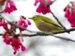 Pájaro en las ramas de un cerezo