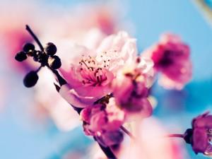 Flores y frutos del cerezo