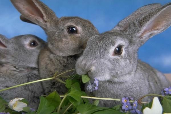 Tres conejos