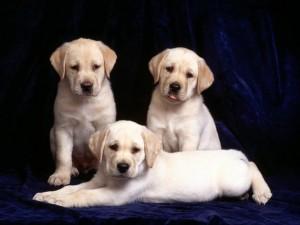 Postal: Cachorros de perro labrador