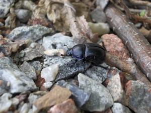 Escarabajo caminando sobre piedras
