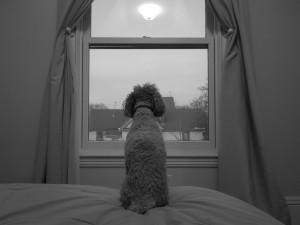 Postal: Perro mirando por la ventana