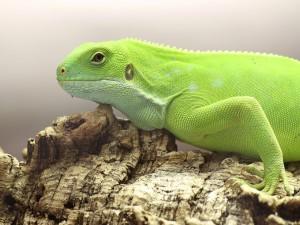 Iguana sobre una roca