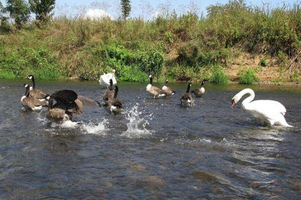 Cisne persiguiendo gansos en el río Lahn