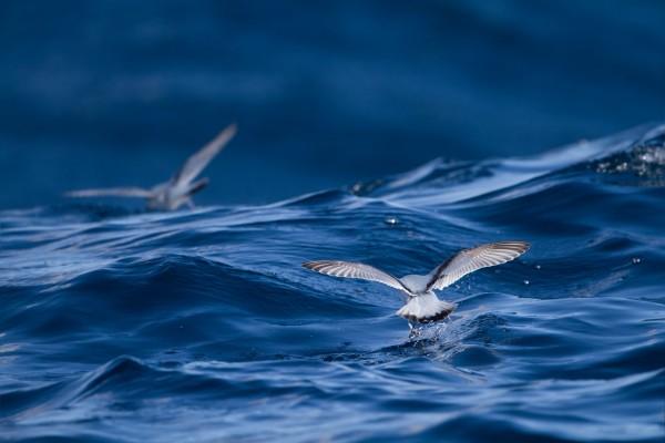 Gaviotas pescando en la superficie del mar