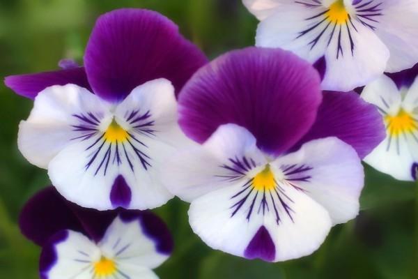 Petunias blancas y moradas
