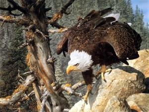 Águila sobre una roca