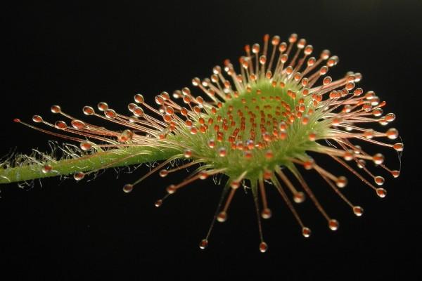 Rocío de sol, planta carnívora (Drosera rotundifolia)
