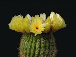 Un cactus en flor (Notocactus minimus)