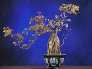 Bonsái arce tridente (Acer buergerianum)