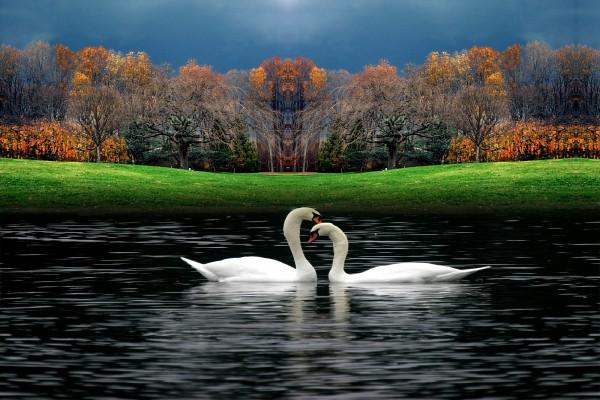 Pareja de cisnes en un lago en otoño