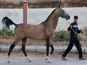 Caballo de raza Akhal-Teke