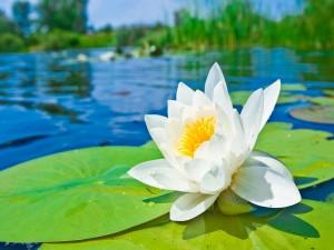 Postal: Flor y nenúfares sobre el agua