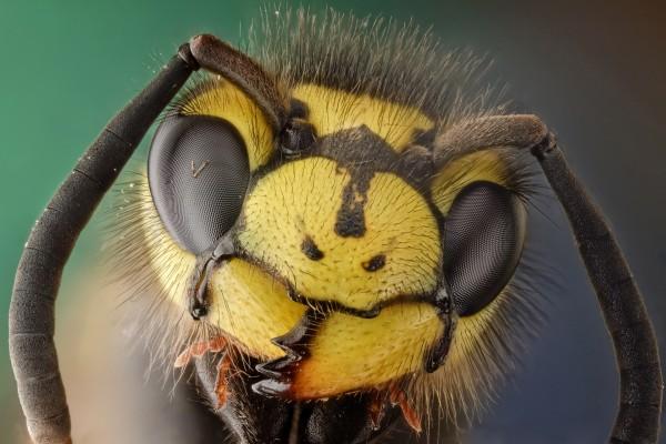 La cabeza de una abeja de cerca