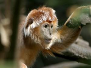 Postal: Mono con flequillo