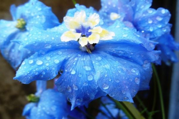 Flores azules mojadas