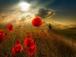 El sol sobre un campo de amapolas rojas