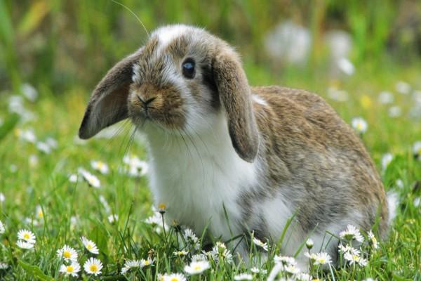 Conejo entre margaritas