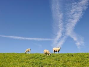 Tres ovejas