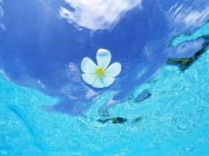 Postal: Flor blanca en aguas azules