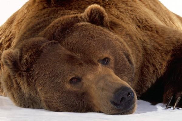 Mirada de oso