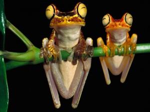 Dos simpáticas ranas agarradas a una rama